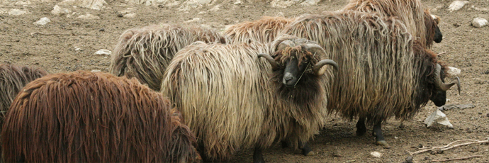 Karakachan Sheep