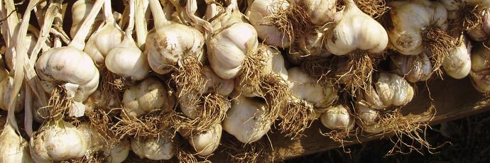 Ljubitovica Šarac Garlic