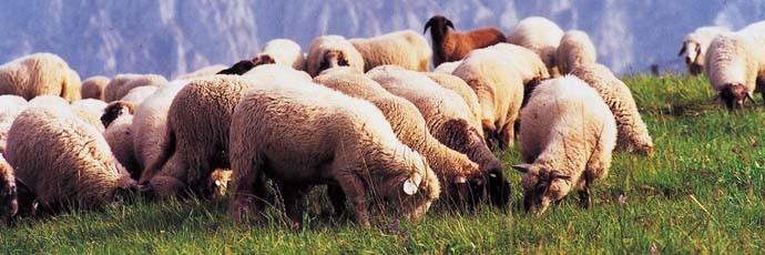 Alpagota Lamb