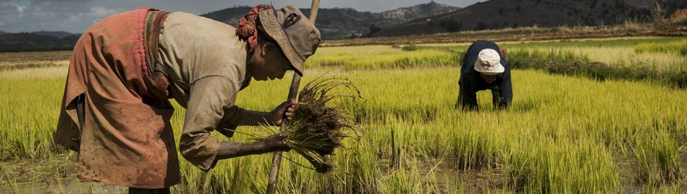 Antiche varietà di riso del lago Alaotra