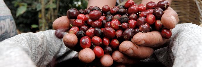 Caffè delle terre alte di Huehuetenango