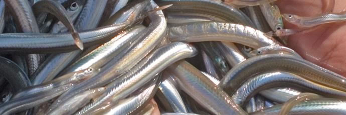 Noli Gulf Artisanal Fishers