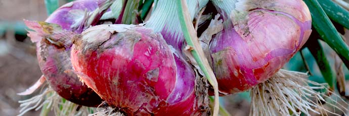 Acquaviva Red Onion