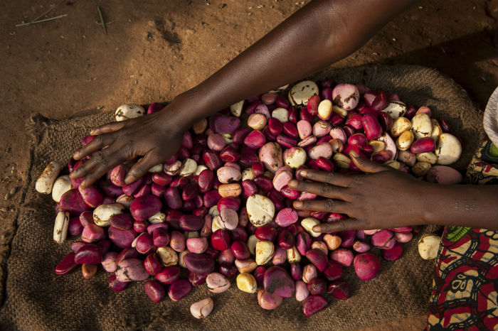 Slow Food in Sierra Leone: Journey Among the Kola Nut Growers