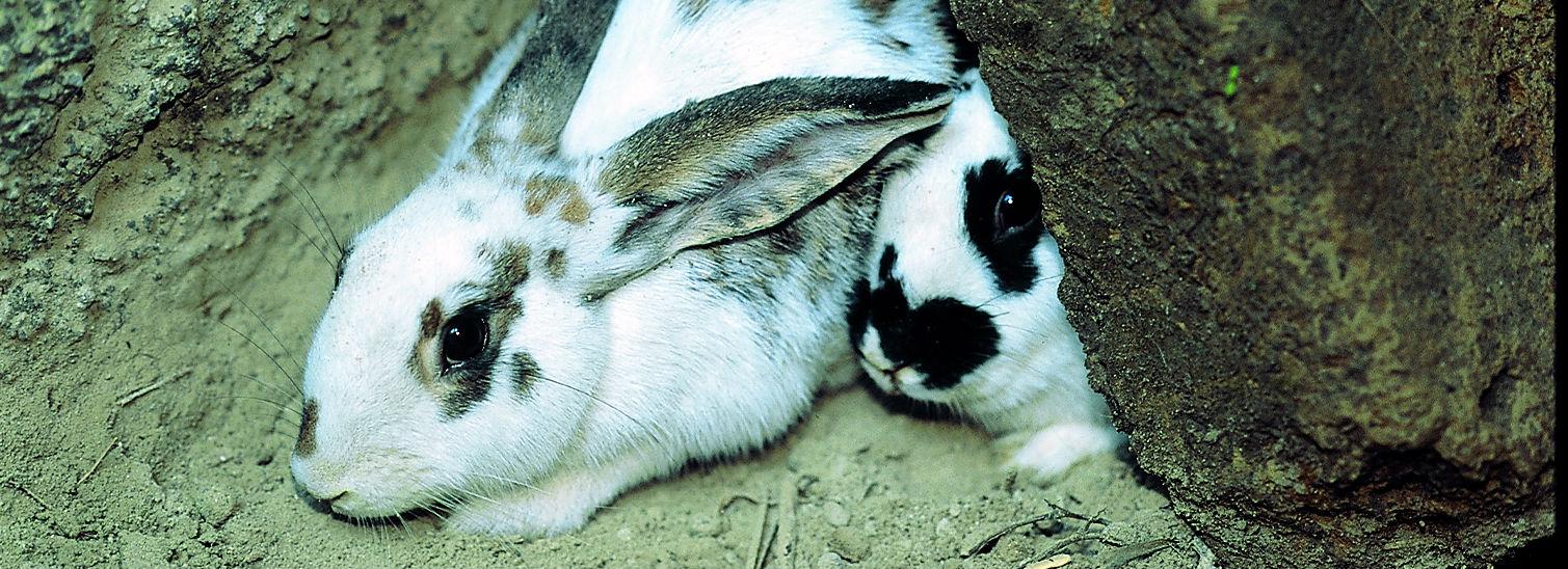 Coniglio da fossa di Ischia