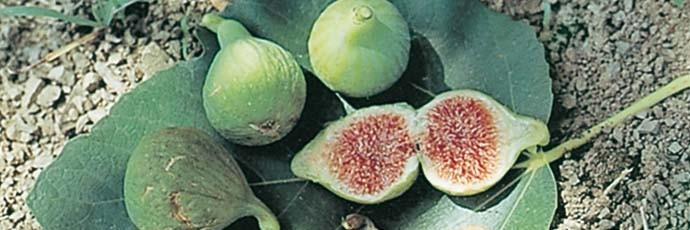 Carmignano Dried Fig