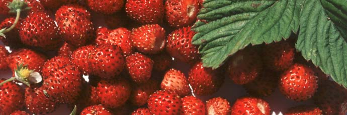 Sciacca and Ribera Wild Strawberry