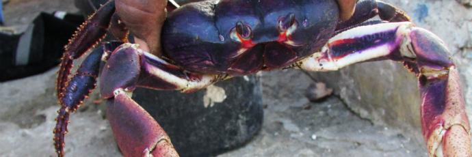 Providencia Black Crab