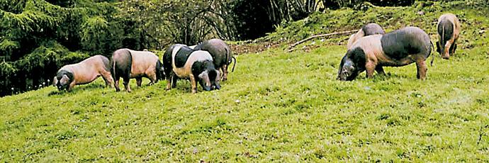 Euskal Txerria Pig