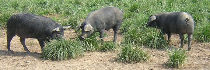 Noir de Bigorre Pig