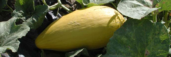 Melone cartucciaru di Paceco