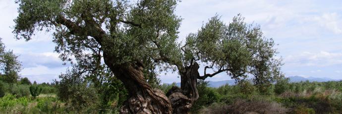 Maestrat Millenary Tree Extra Virgin Olive Oil