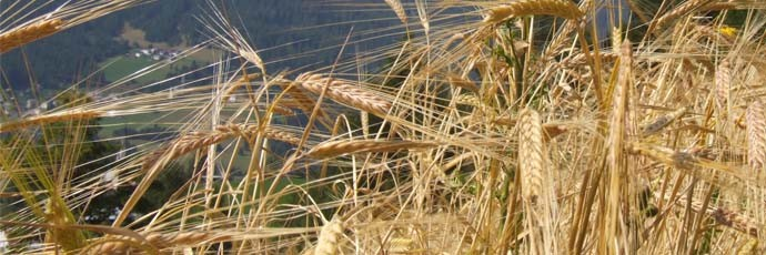 Ancient Belluno Valleys Barley