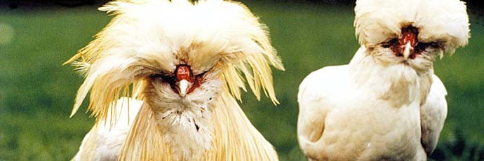 Paduan Chicken