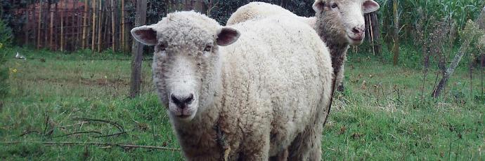 Molo Sheep - Presìdi Slow Food - Slow Food Foundation