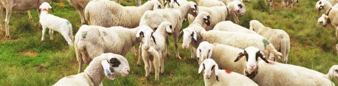 Villnösser Brillenschaf Sheep