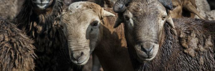 Zulu Sheep