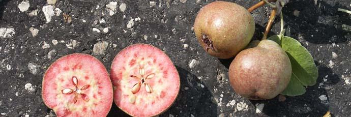 Cocomerina Pear