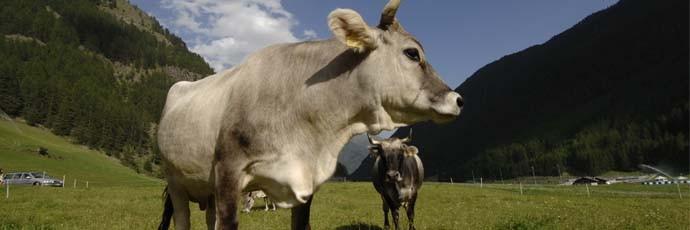 Alpine Gray Cattle
