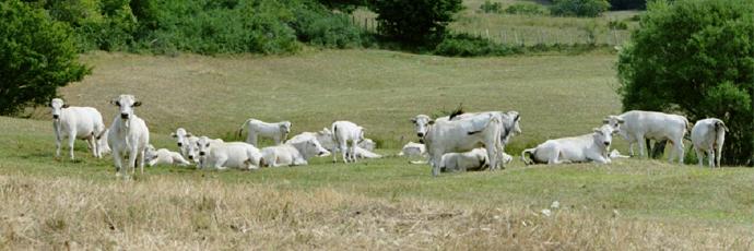 Romagnola Cattle
