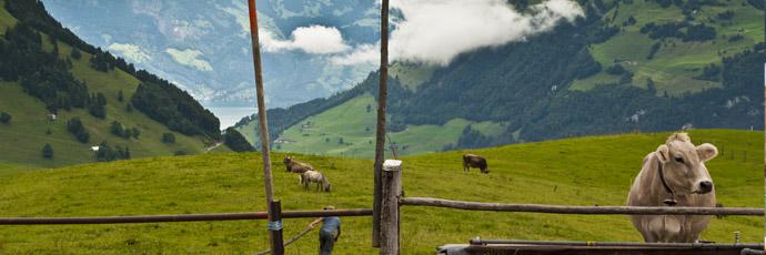 Mountain Pasture Sbrinz
