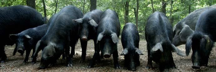 Nebrodi Black Pig