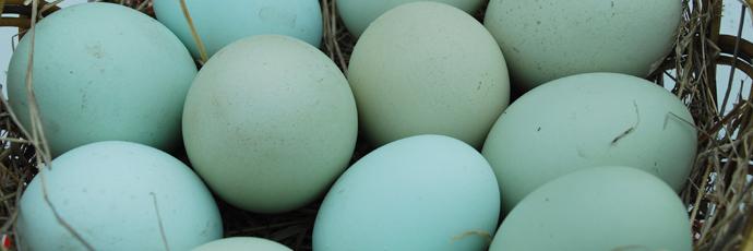 Blue Egg Hen