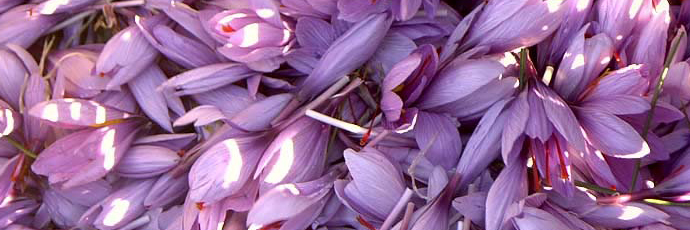 Jiloca Saffron