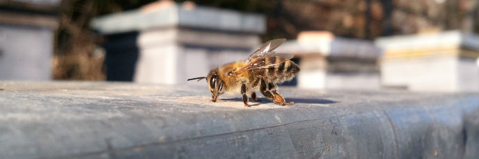 Macedonian Honeybee