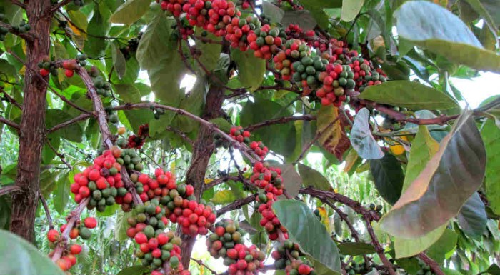 Ugandan Coffee: Our Culture, Our Heritage, Our Economy