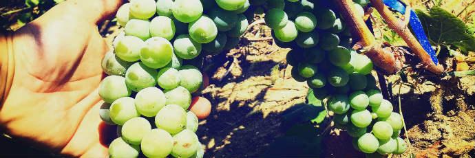 Montonico Grape