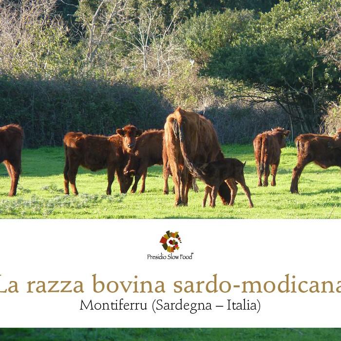 Razza bovina sardo-modicana