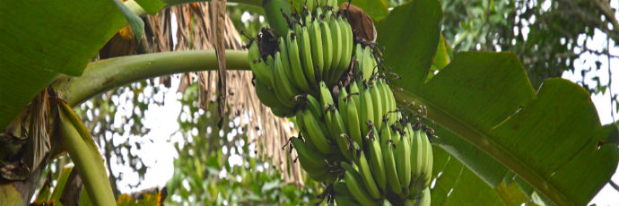 Banana kayinja di Bugonya