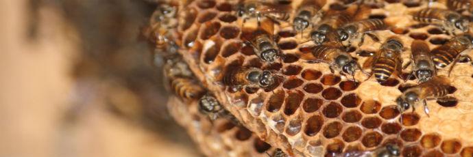 Cingagoler Honey from Cerana Bees