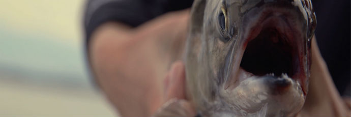 Salmone sockeye del fiume Okanagan