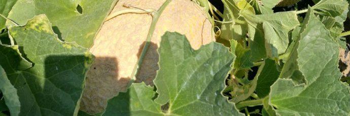 Melone di Calvenzano