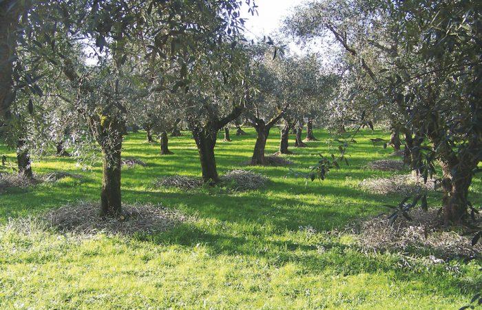 Nasce il Presidio dell'Olivo quercetano