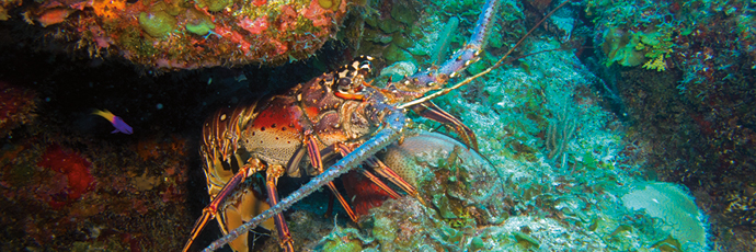 Banco Chinchorro and Sian Ka'an Spiny Lobster