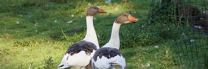 Twentse Goose