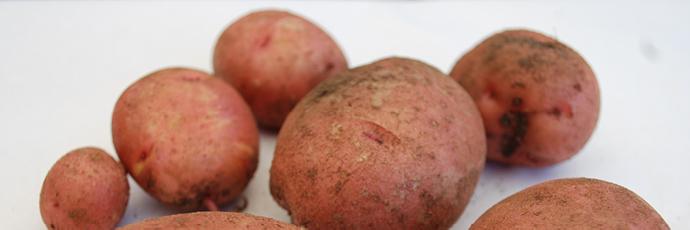 Patata rossa Bodega