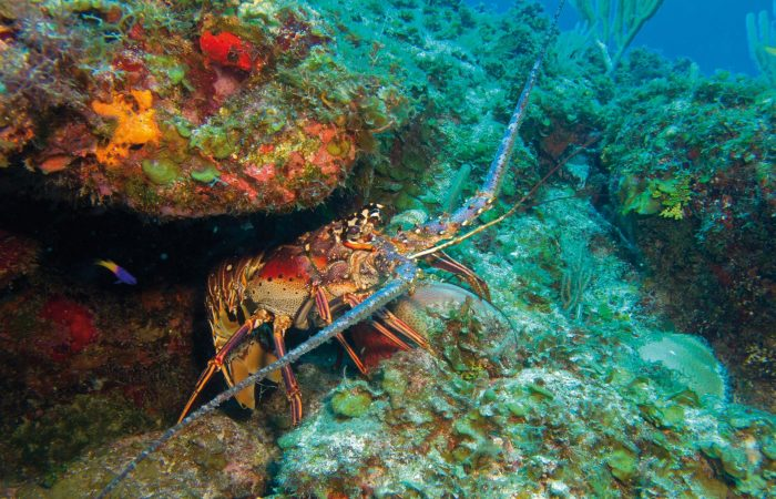 New Slow Food Presidium in Mexico to protect the Caribbean Spiny Lobster