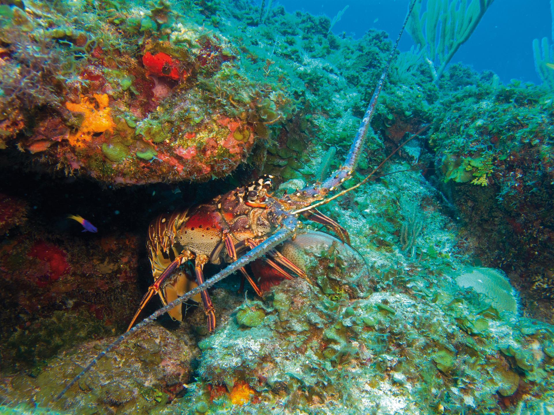 presidio_aragosta_slow fish caribe