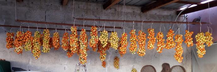 Samnite Verneteca Cherry Tomato