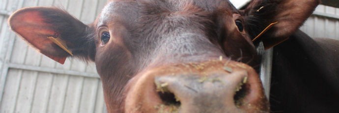 West Flanders Red Cattle