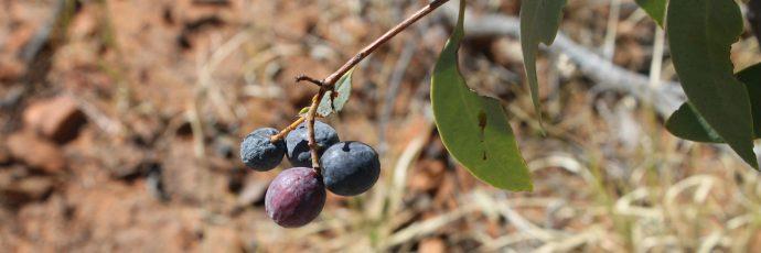Prugna selvatica dell'Australia centrale