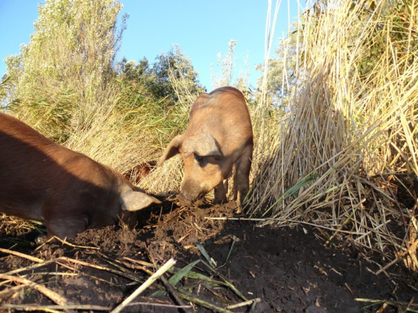 pigs-sustainable-grass-fed-pork-2