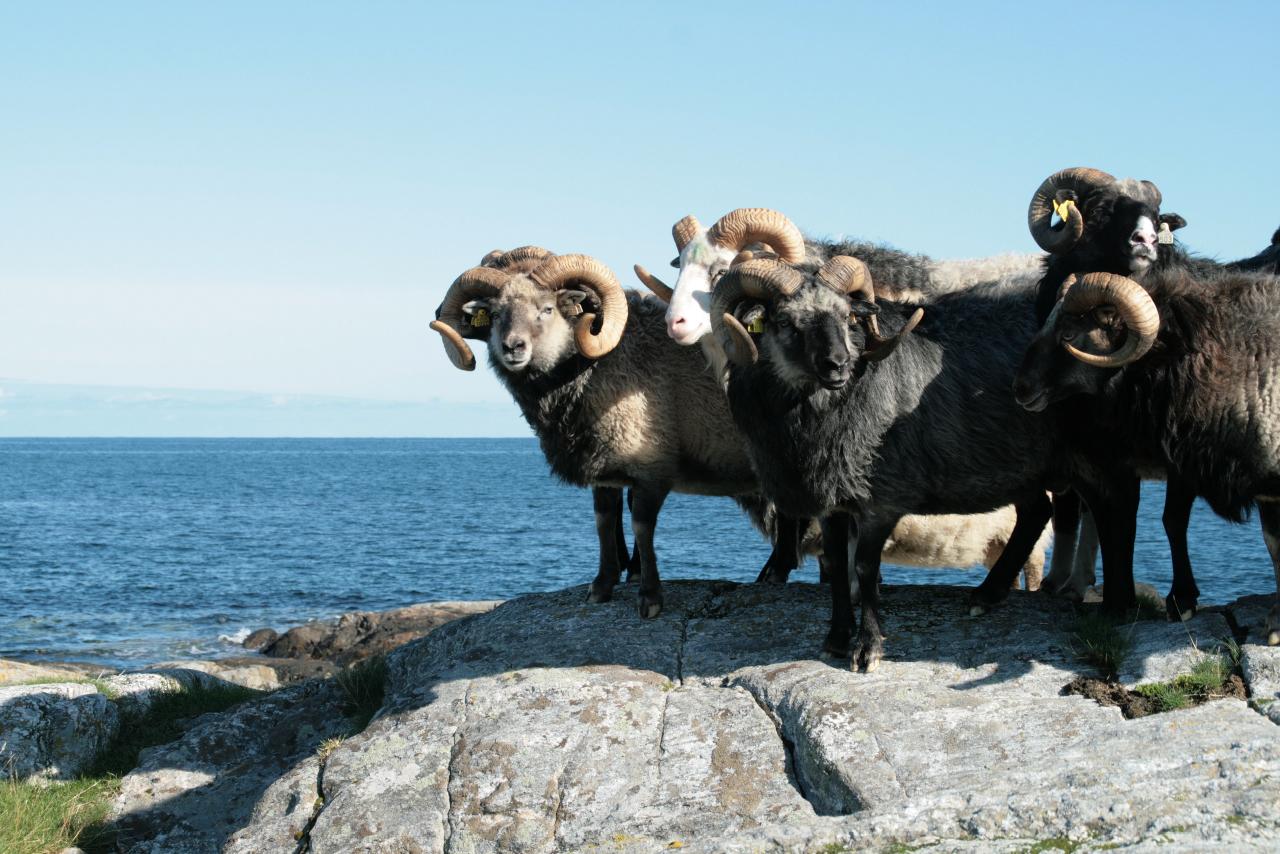 villsau-sheep-norway-meat-presidium