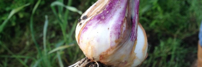 Ufita Heirloom Garlic