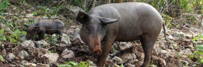 Yucatán Peninsula Hairless Pig