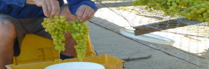 Swan Valley Sun-Dried Muscat Grapes